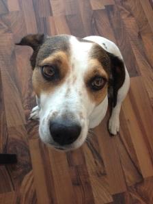 hond met darmontstekingen kunnen PEA gebruiken