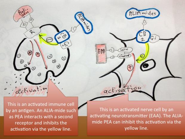 Palmitoylethanolamide is an ALIA-mide