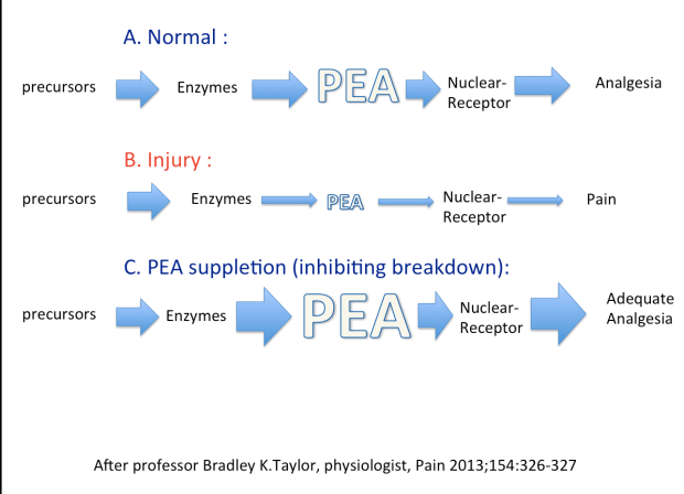 PEA can lead to analgesia