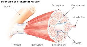 Fibromyalgie-aandoening van de spierfysiologie