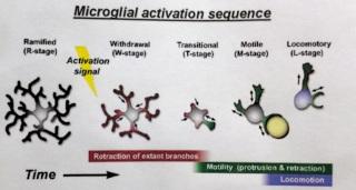 L'attivazione microgliale