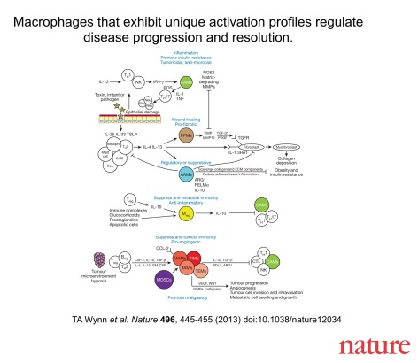 Macrophages play a key role